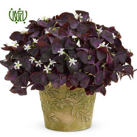 گیاه اکسالیس  اکسالیس، ترشک ، گل عشق – oxalis regnellii oxalis 2 450x450
