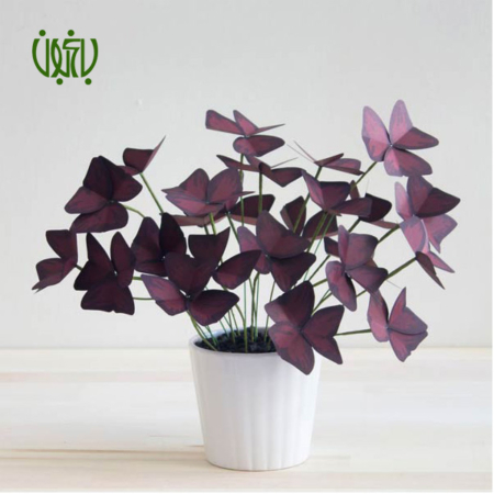 گیاه اکسالیس  اکسالیس، ترشک ، گل عشق-oxalis regnellii oxalis 3 450x450