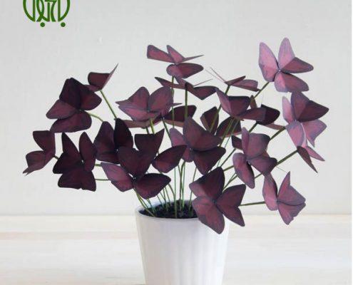 گیاه اکسالیس  گل حنا – BUSY LIZZIE oxalis 3 495x400