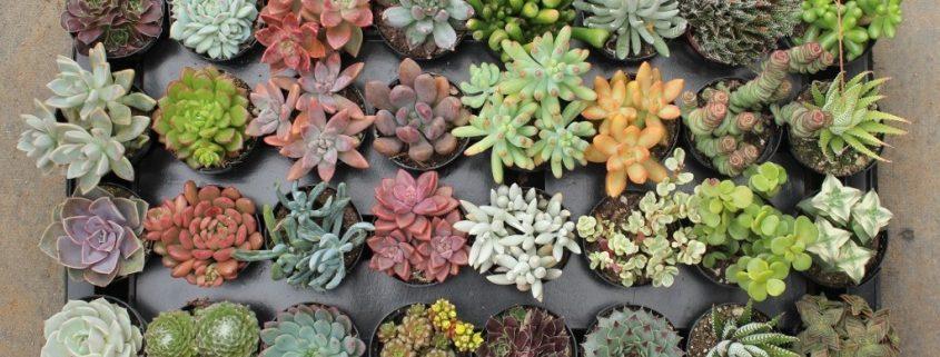تکثیر ساکولنت ها از طریق برگ succulent 2 5 assorted succulents 11 845x321