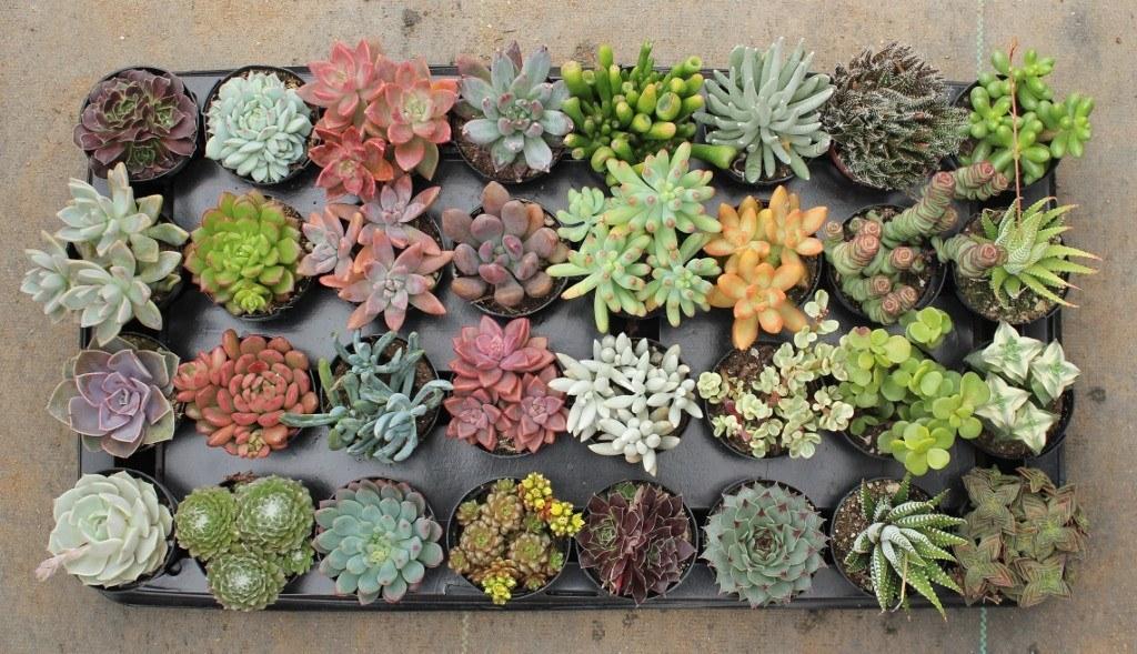 تکثیر ساکولنت ها از طریق برگ succulent 2 5 assorted succulents 11  وبلاگ succulent 2 5 assorted succulents 11