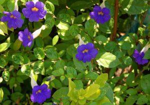 گل های مقاوم به آب و هوای گرم thunbergia erecta  300x211