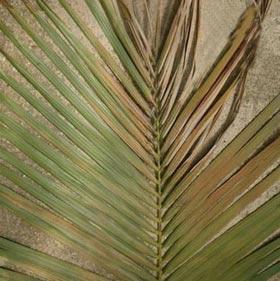 معرفی رایجترین مشکلات گیاهان آپارتمانی 3 burened leaves