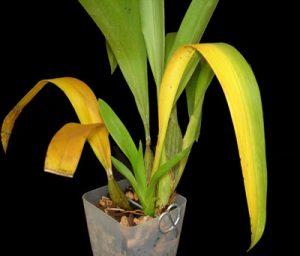 معرفی رایجترین مشکلات گیاهان آپارتمانی 5 yellowing leaves 300x256