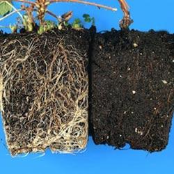 معرفی رایجترین مشکلات گیاهان آپارتمانی 9 brown root