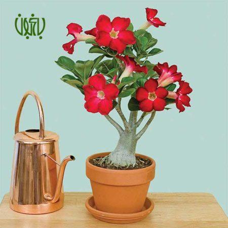 گل آدنیوم رز صحرایی رز صحرایی (آدنیوم) – Adenium obesum Adenium obesum 3 450x450