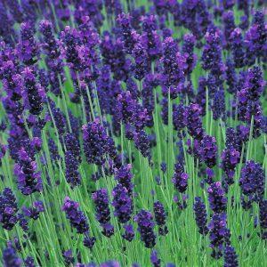 گیاهان مناسب نگهداری در اتاق خواب LavandulaHidcoteBlue2 300x300