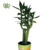 گیاه لوتوس بامبو