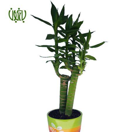 گیاه لوتوس بامبو  بامبو لوتوس-Bamboo Lotus bamboo lotus 1 450x450