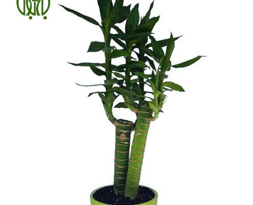 گیاه لوتوس بامبو  سانسوریا پا کوتاه-Sansevieria Trifasciata hahnii bamboo lotus 1 495x400