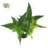 گیاه بامبو لوتوس