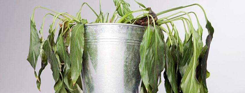 پژمردگی گیاهان آپارتمانی  معرفی رایجترین مشکلات گیاهان آپارتمانی deadhouseplants 1100 1 845x321