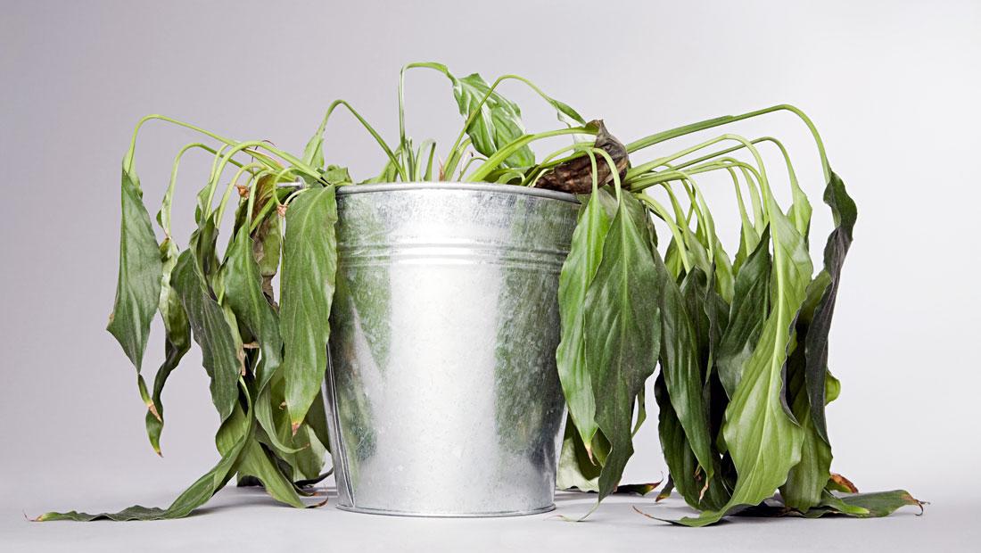 پژمردگی گیاهان آپارتمانی