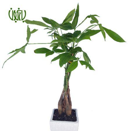 گیاه پاچیرا  پاچيرا-Pachira Macrocarpa pachira 2 450x450