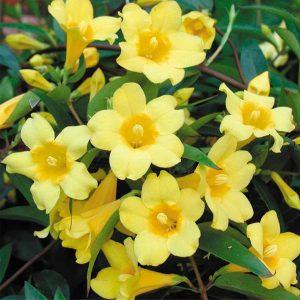 گیاهان مناسب نگهداری در اتاق خواب yellow confederate jasmine gelsemium 300x300