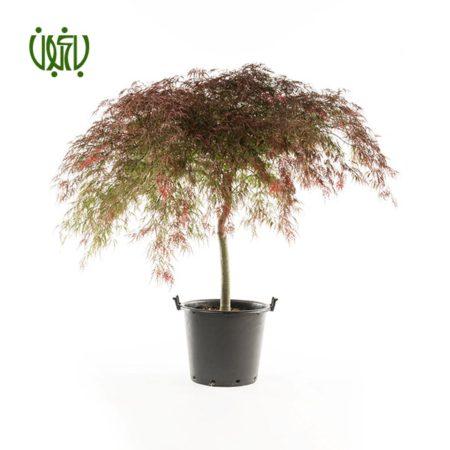 افرا  افرا-Japanese maple Plant Japanese maple 1 450x450