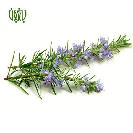 رزماري رزماری رزماری (اکلیل کوهی) – Rosemary Plant Rosemary 01 450x450