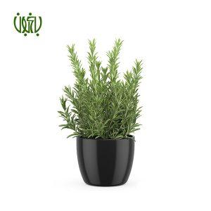 رزماري  گلدار Plant Rosemary 05 300x300  گلدار Plant Rosemary 05 300x300