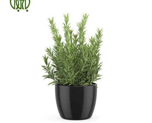 رزماري  گل آهار –     Zinnia Plant Rosemary 05 495x400