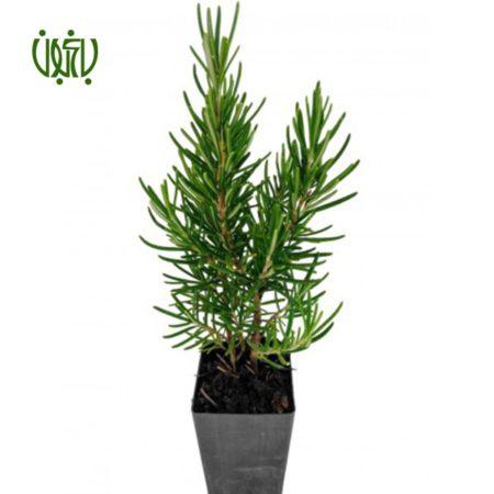 رزماري  رزماری-Rosemary Plant Rosemary 5 450x450
