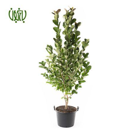 برگ بو گل و گیاه خانگی گل و گیاه خانگی Plant Sweet bay 07 450x450 گل و گیاه خانگی گل و گیاه خانگی Plant Sweet bay 07 450x450
