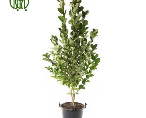 برگ بو  گل آهار –     Zinnia Plant Sweet bay 07 495x400