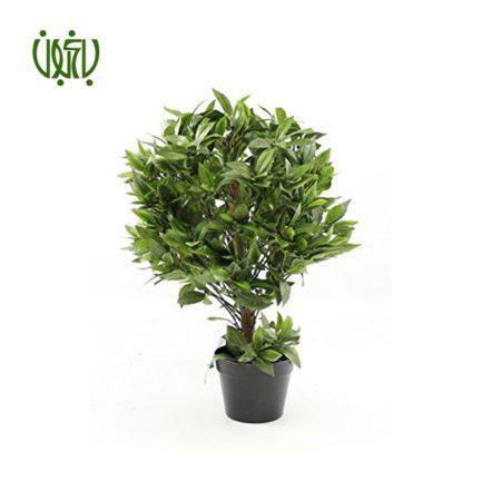 برگ بو  برگ بو -Sweet bay Plant Sweet bay 1 1 450x450