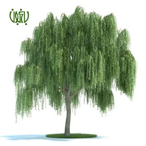 بيد مجنون  گلخانه Plant WEEPING WILLOW 01 300x300  گلخانه Plant WEEPING WILLOW 01 300x300