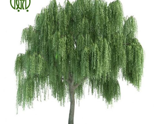 بيد مجنون  گل آهار –     Zinnia Plant WEEPING WILLOW 01 495x400
