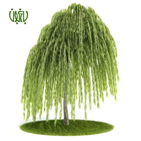 بيد مجنون  درخت بید مجنون –  WEEPING WILLOW Plant WEEPING WILLOW 02 450x450