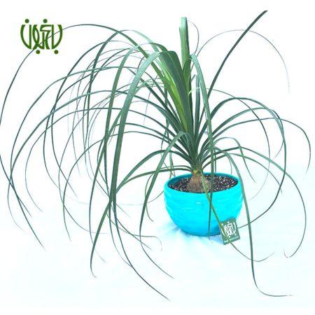 گیاه لیندا  لیندا با گلدان سرامیکی plant PONYTAIL PALM 6 450x450
