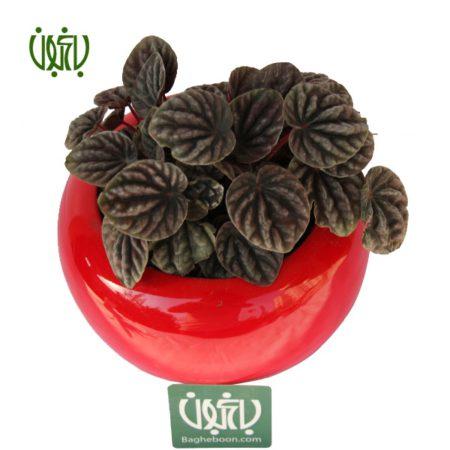پپرومیا چروک  پپرومیا کاپراتا با گلدان سفالی plant Ripple Pepromia offer3 450x450  فروشگاه plant Ripple Pepromia offer3 450x450