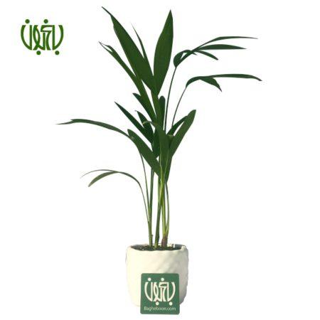اريكا پالم  نخل اریکا با گلدان سفالی plant areca palm offer 1 450x450
