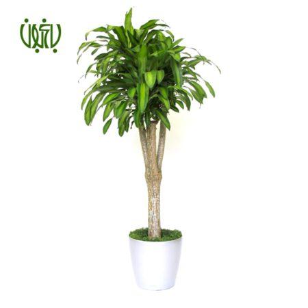 دراسنا بلالی  دراسنا بلالی – Dracaena fragrans plant cornstalk dracaena 03 450x450