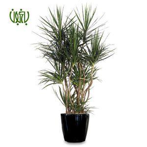 دراسنا پرچمی گلخانه گلخانه plant dracaena marginata 05 300x300 گلخانه گلخانه plant dracaena marginata 05 300x300