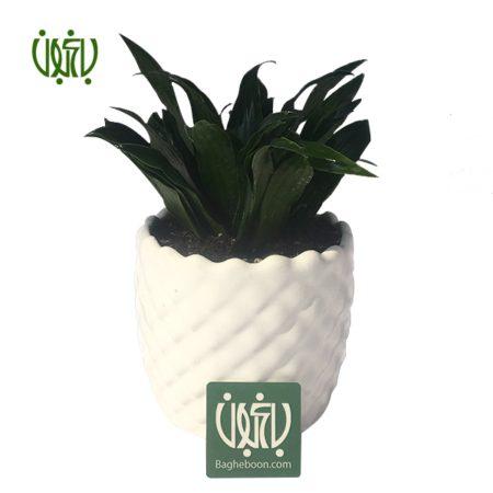 دراسنا كامپكت  دراسنا کامپکتا با گلدان سفالی plant dracena compacta offer01 450x450