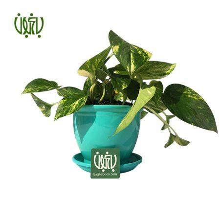 پوتوس  پوتوس با گلدان پلاستیکی plant epipremnum aureum offer 1 450x450