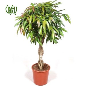 بنجامين آمستل  گلخانه plant long leaved fig 01 300x300  گلخانه plant long leaved fig 01 300x300