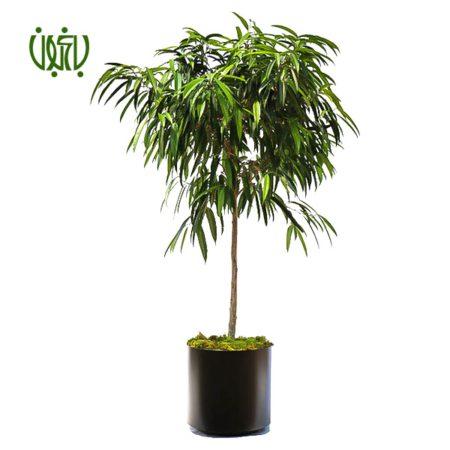 بنجامين آمستل  بنجامین آمستل  –  Ficus Amstel King plant long leaved fig 05 450x450