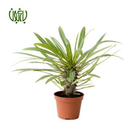 نخل ماداگاسکار  نخل ماداگاسکار – Madagascar Palm plant madagascar palm 03 450x450