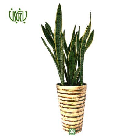 سانسوريا ابلق  سانسوریا ابلق با گلدان سفالی plant sansevieria offer 1 450x450