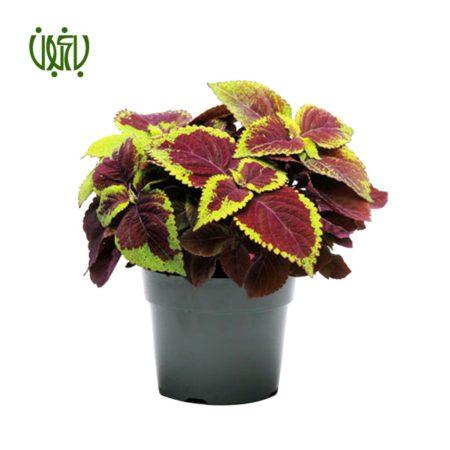 حسن یوسف  حسن یوسف-Coleus plant solenostemon scutellarioides 03 450x450