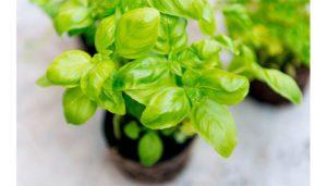 گیاه ریحان  معرفی گیاهان آپارتمانی ضد پشه و حشرات گزنده Basil palnt 1 300x171
