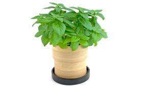 گیاه ریحان  معرفی گیاهان آپارتمانی ضد پشه و حشرات گزنده Basil palnt 2 300x171