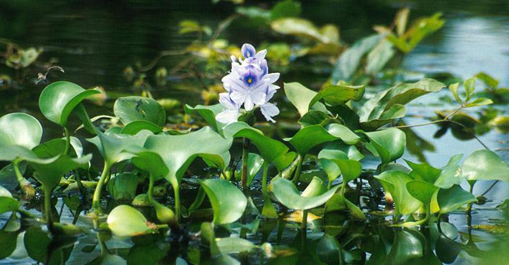 Eichhornia-crassipes-سنبل-آبی  چطور من یک گیاه کشنده را به تجارتی پر رونق تبدیل کردم Eichhornia crassipes TED  وبلاگ Eichhornia crassipes TED