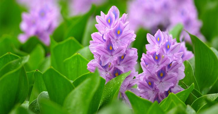 Eichhornia-crassipes-سنبل-آبی  سنبل آبی: مهمترین گیاه مهاجم آبزی دنیا Eichhornia crassipes  وبلاگ Eichhornia crassipes