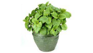 گیاه بادرنجبویه  معرفی گیاهان آپارتمانی ضد پشه و حشرات گزنده Lemon balm 2 300x171