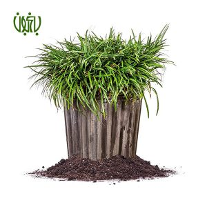 يال اسبي گلخانه گلخانه Plant Mondo grass 02 300x300 گلخانه گلخانه Plant Mondo grass 02 300x300