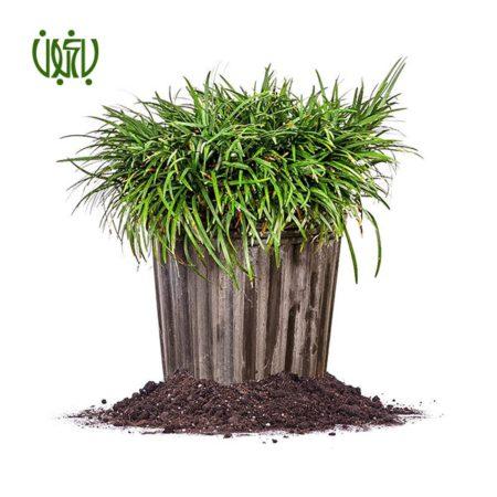 يال اسبي  چمن یال اسبی –  Mondo grass Plant Mondo grass 02 450x450