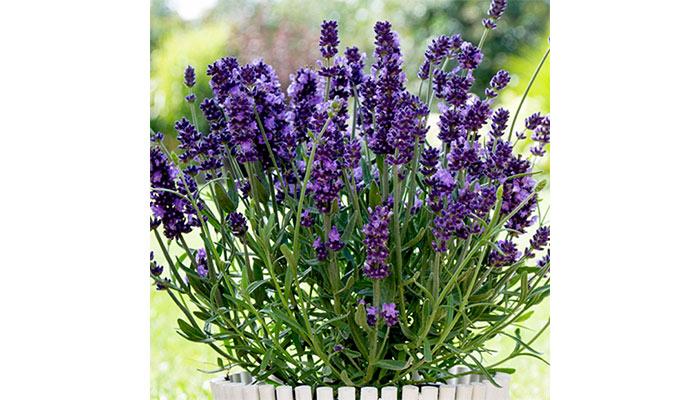ostu  معرفی گیاهان آپارتمانی ضد پشه و حشرات گزنده lavender